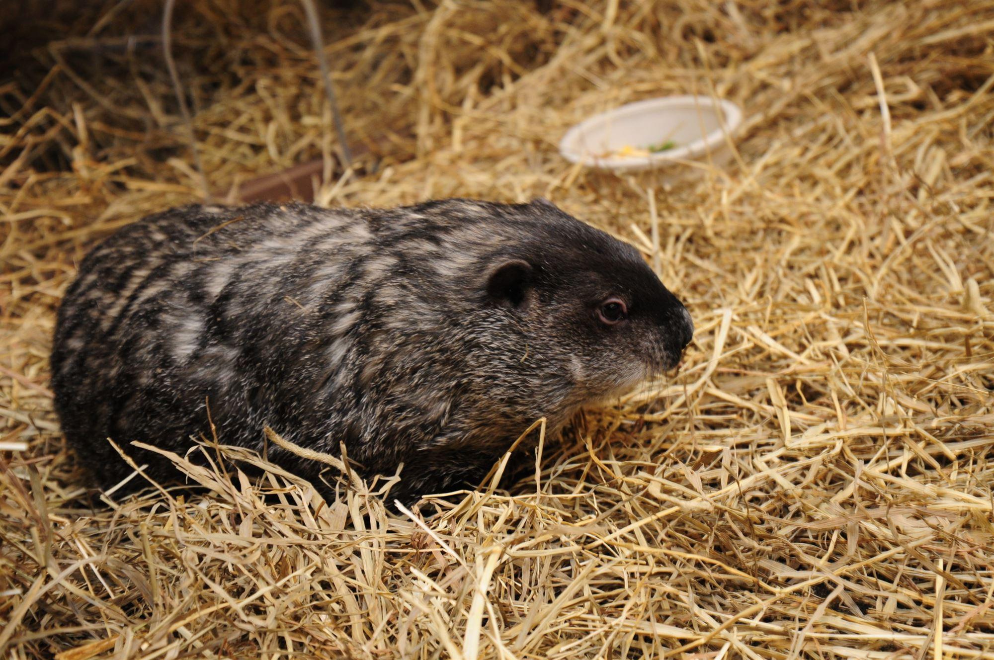 Essex Ed the Groundhog